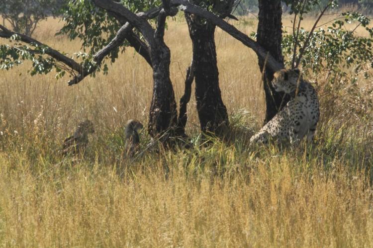 Cheetah cubs at Liuwa Plain National Park