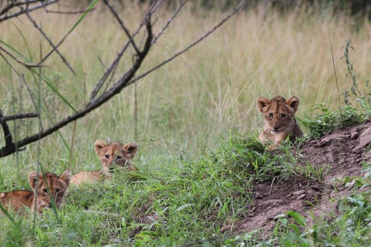 Lion cubs May 2016_Sean Carter