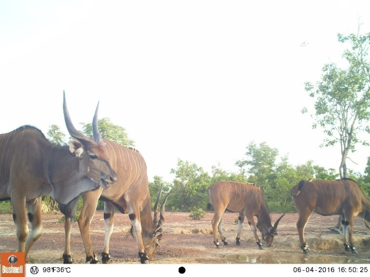Eland at Chinko, CAR